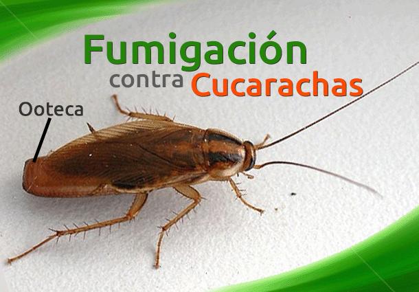Cucaracha alemana fumigacion de plaga de cucarachas - Exterminar hormigas en casa ...