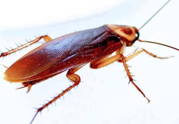 Cucaracha americana fumigacion de plaga de cucarachas - Exterminar hormigas en casa ...